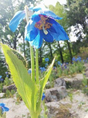 bluepoppy_s.jpg