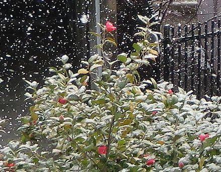 camellia-n-snow.jpg