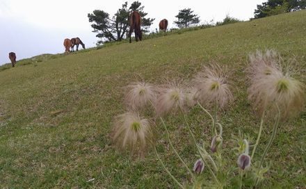 pulsatilla_horses_s.jpg